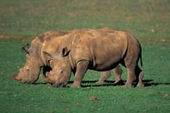 Two White Rhino (00010937)