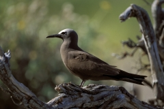 Brown Noddy on the tree