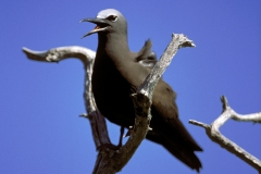 Brown Noddy on a tree (00005530)