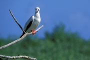 Red-footed booby on a tree branch (00005040)