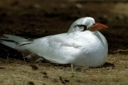 Red-tailed Tropicbird on the ground (00004758)