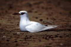Red-tailed Tropicbird on the ground (00005544)