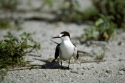 Sooty Tern on the runway surface (00004836)