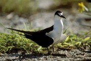 Sooty Tern on the runway surface (00004849)