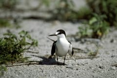 Sooty Tern on the runway surface