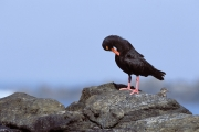 African black Oystercatcher (00003811)