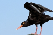 African black Oystercatcher (00003859)