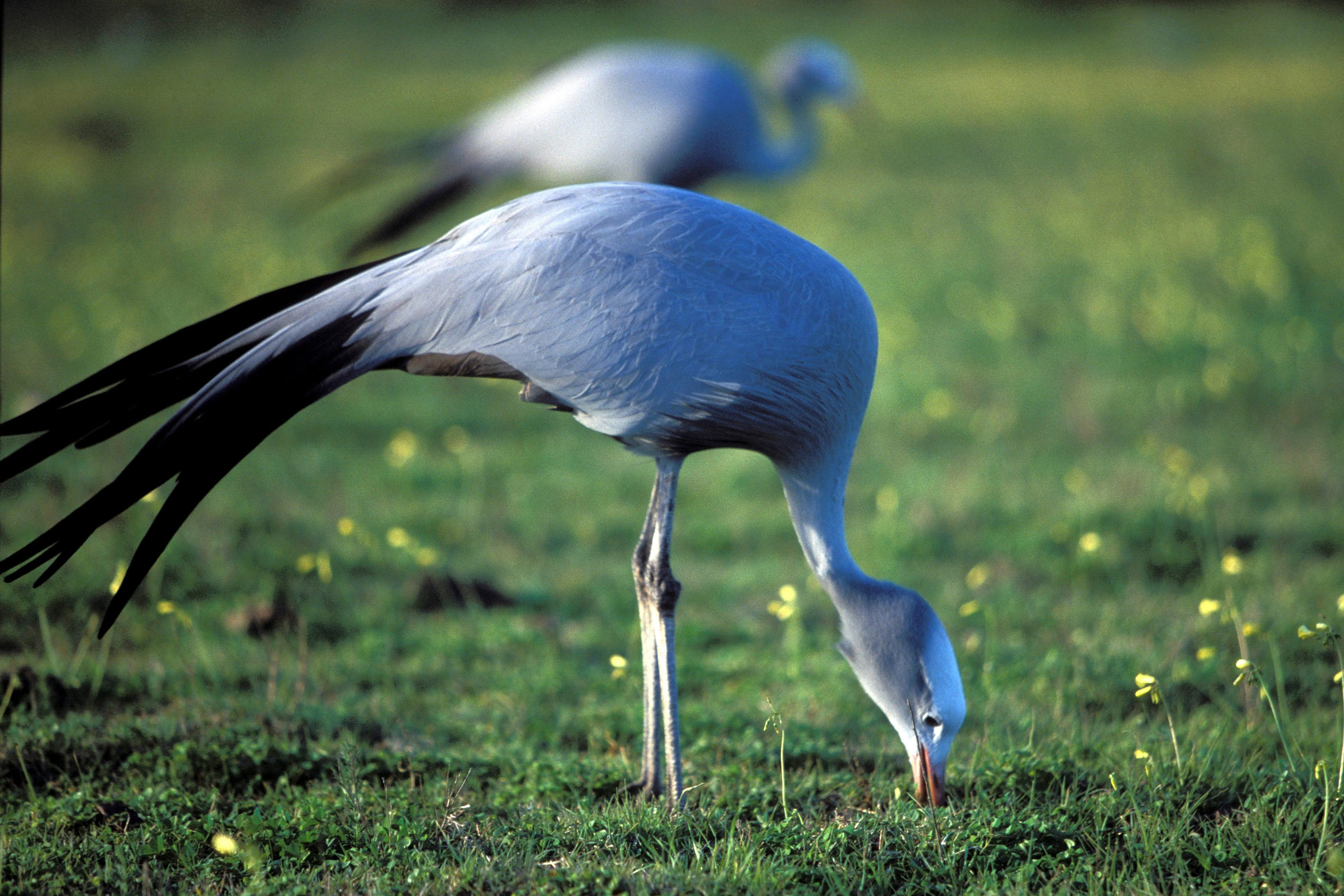 Blue Crane in the meadow (00011061)