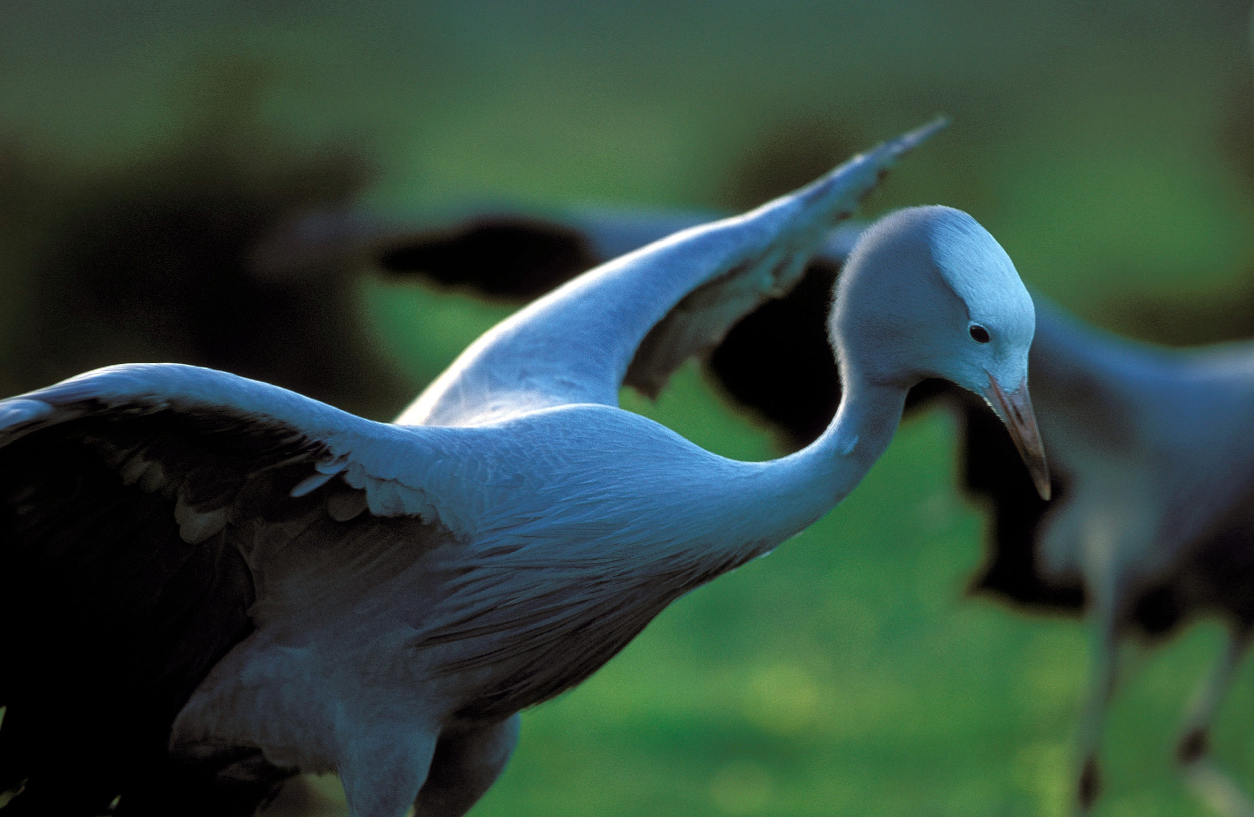 Blue Crane in the meadow (00011078)