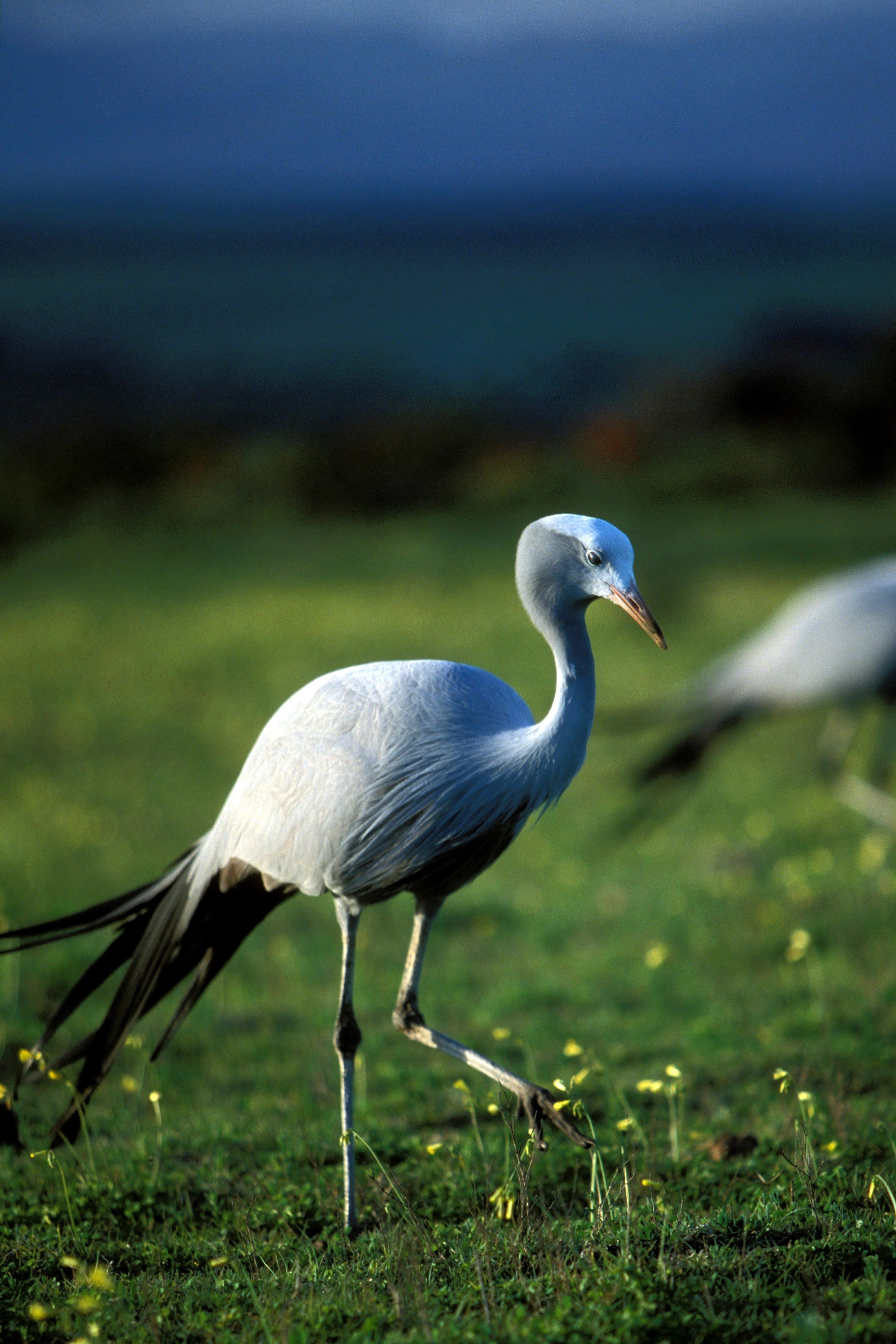 Blue Crane in the meadow (00011113)