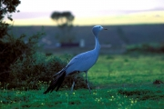 Blue Crane in the meadow