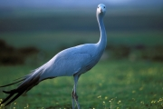 Blue Crane in the meadow (00011040)