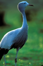 Blue Crane in the meadow (00011074)