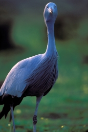 Blue Crane in the meadow (00011081)