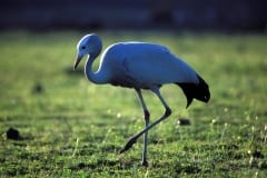 Blue Crane in the meadow (00011104)