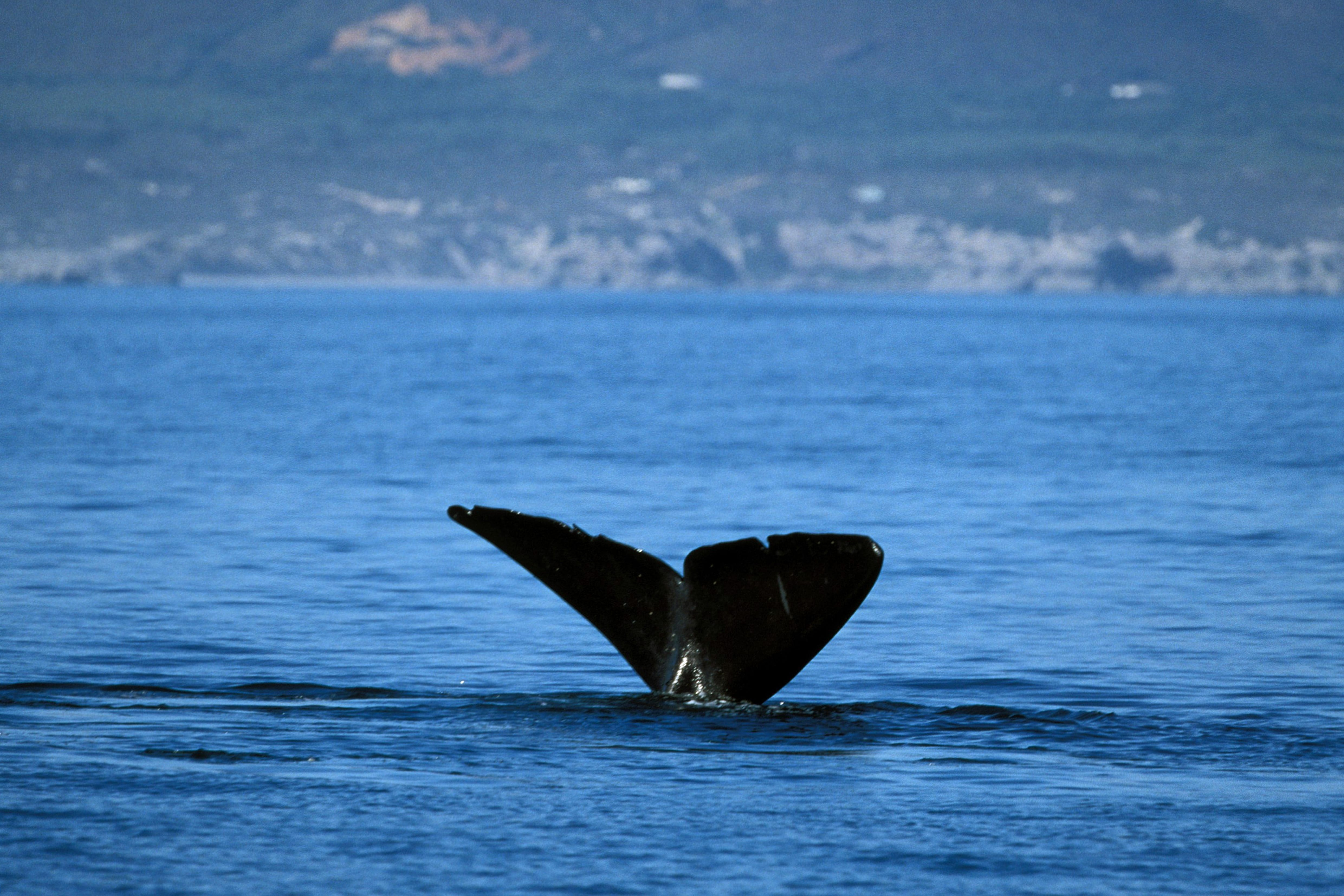 Tail fin of the Southern Right Whale over water (00011118)