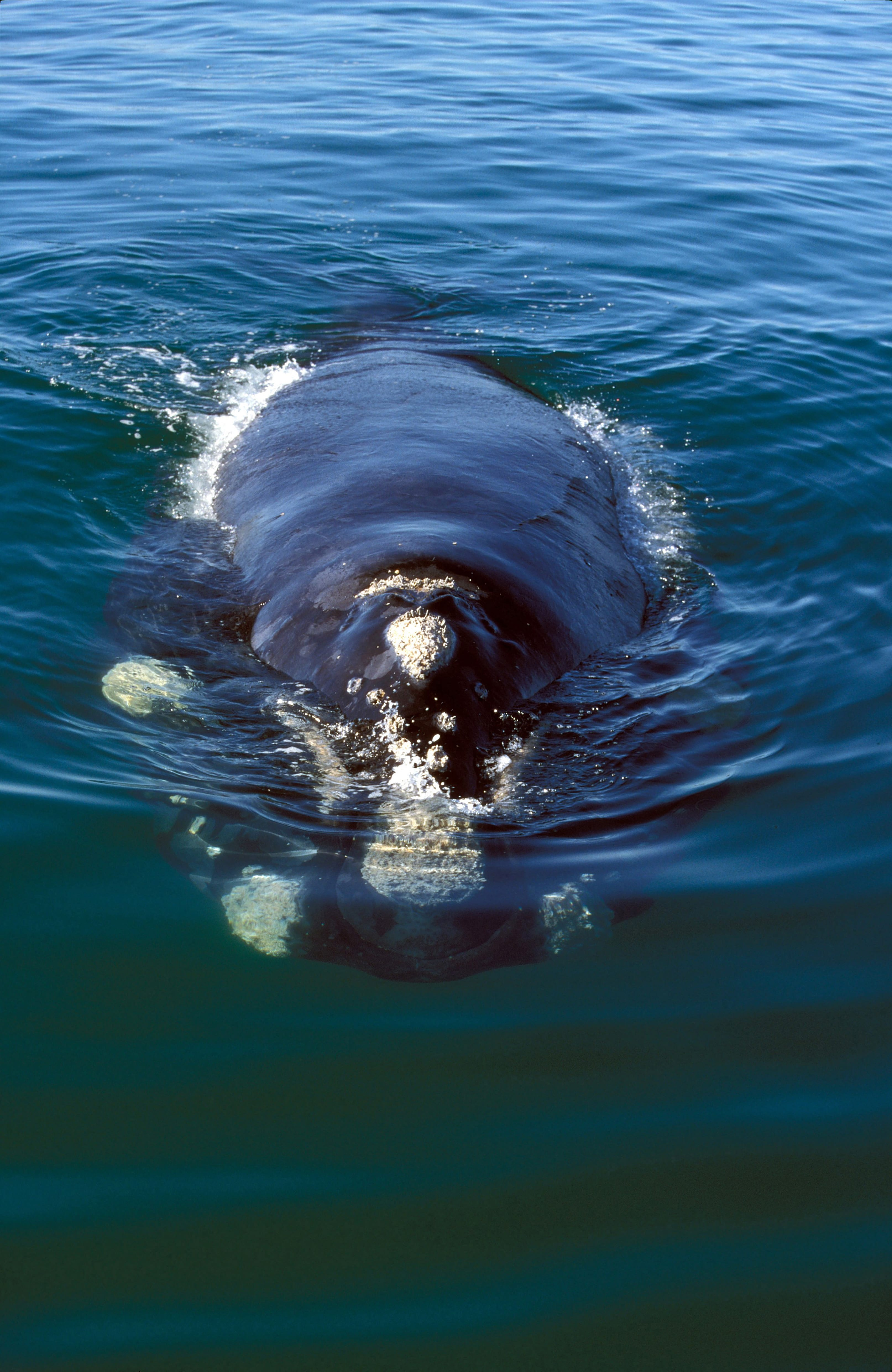 Southern Right Whale comes on the water surface (00011136)
