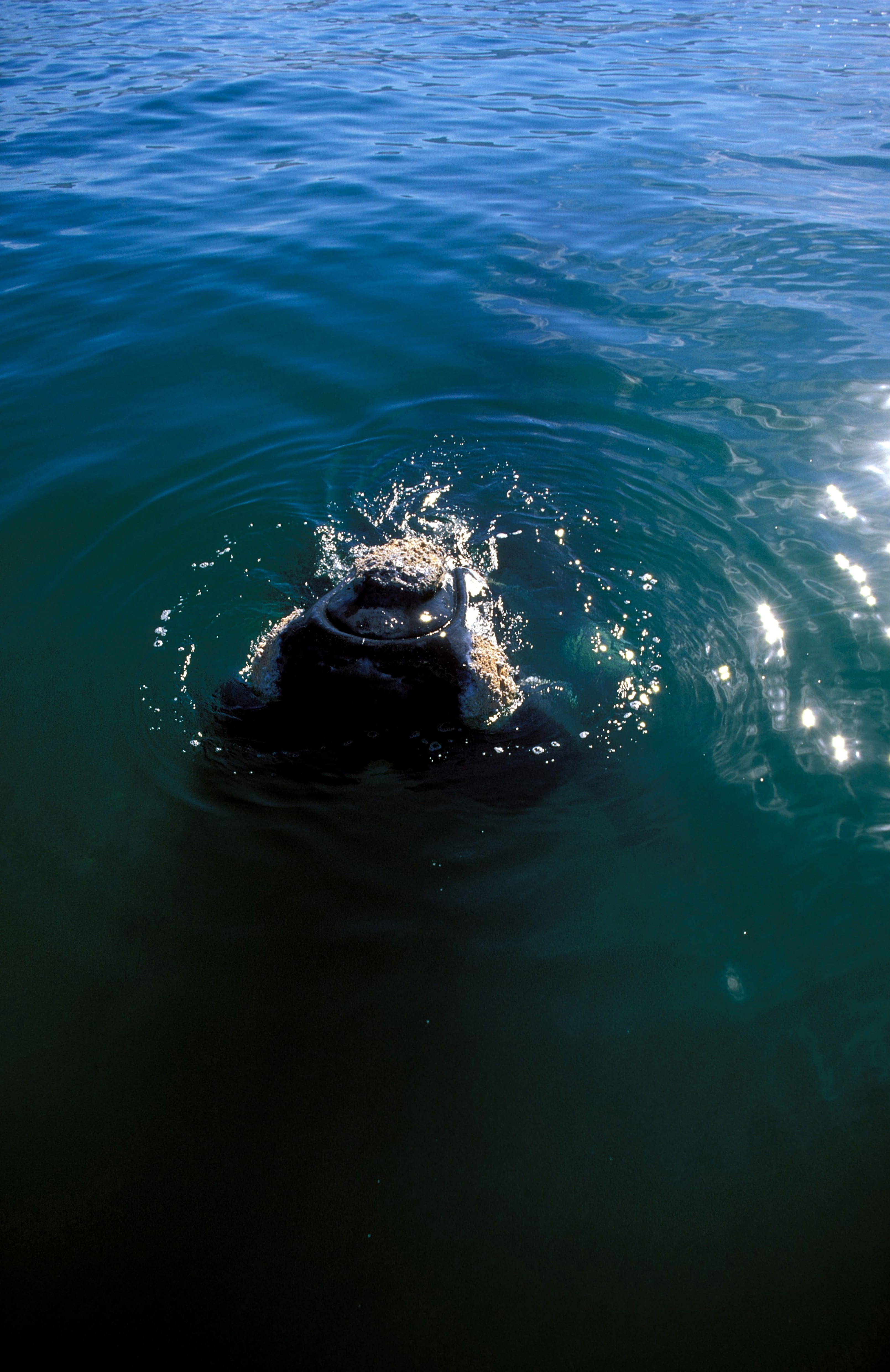 Southern Right Whale comes on the water surface (00011148)