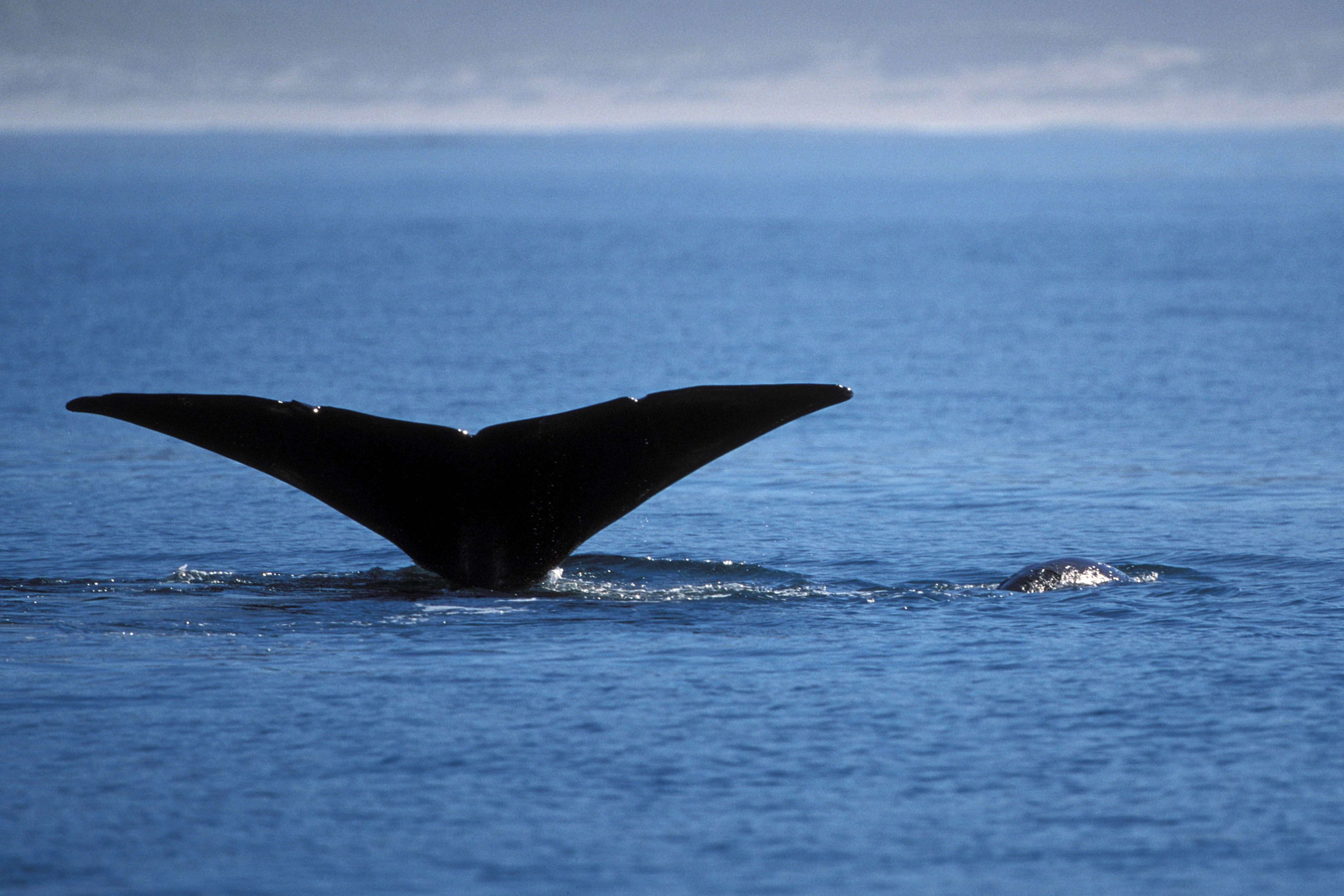 Southern right whale fluke (00011178)
