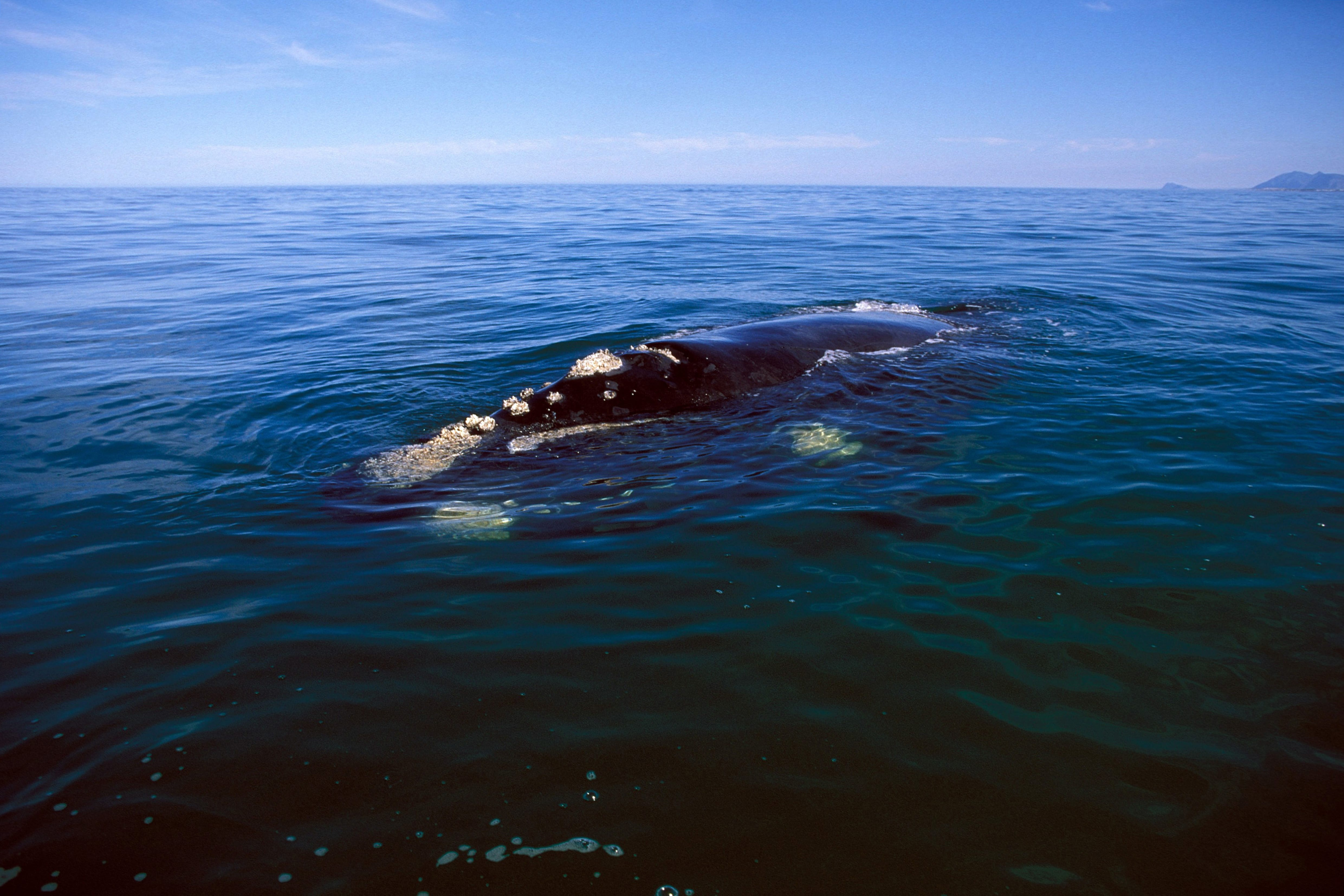 Southern Right Whale on the water surface (00011195)