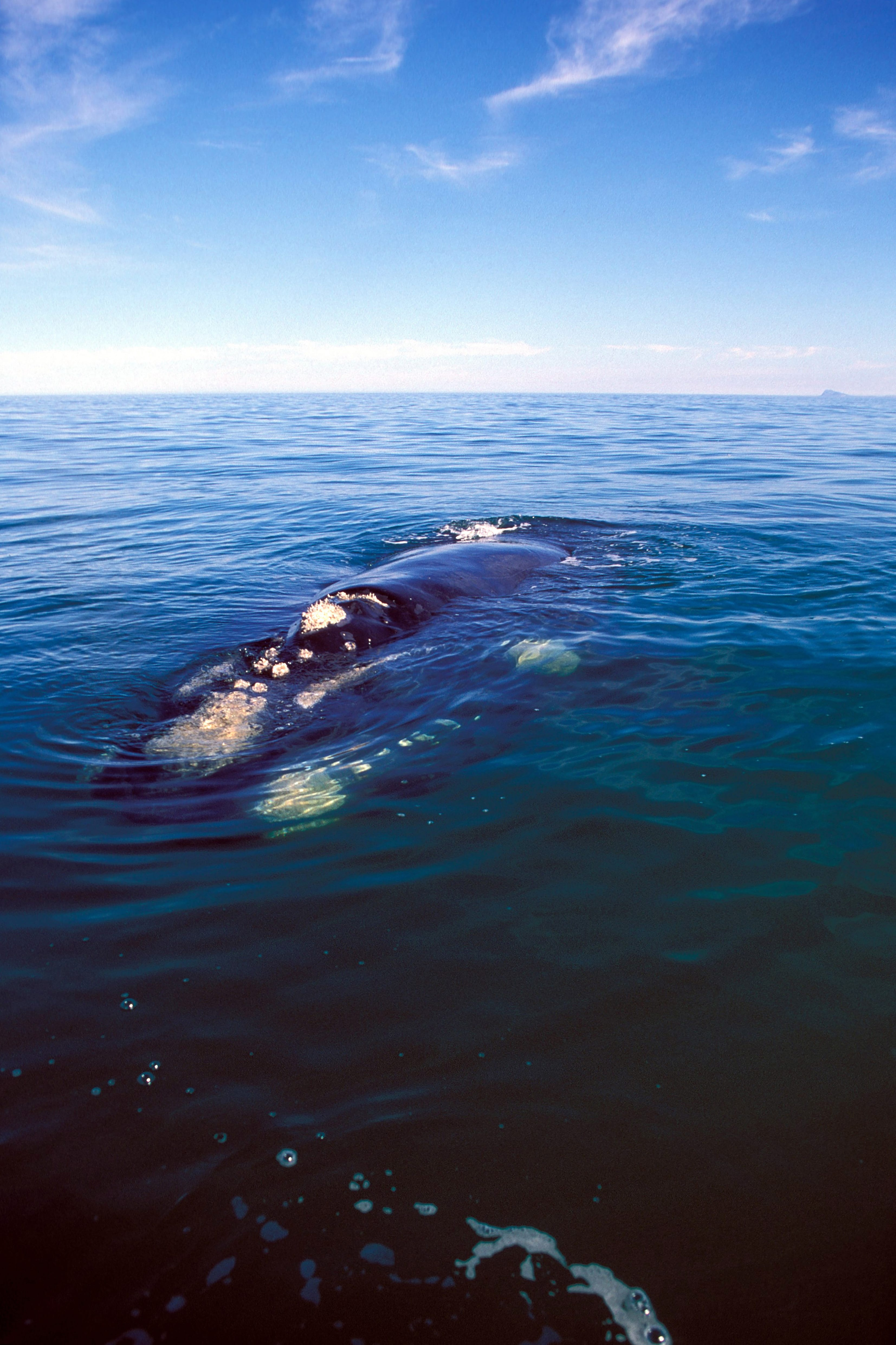 Southern Right Whale on the water surface (00011198)