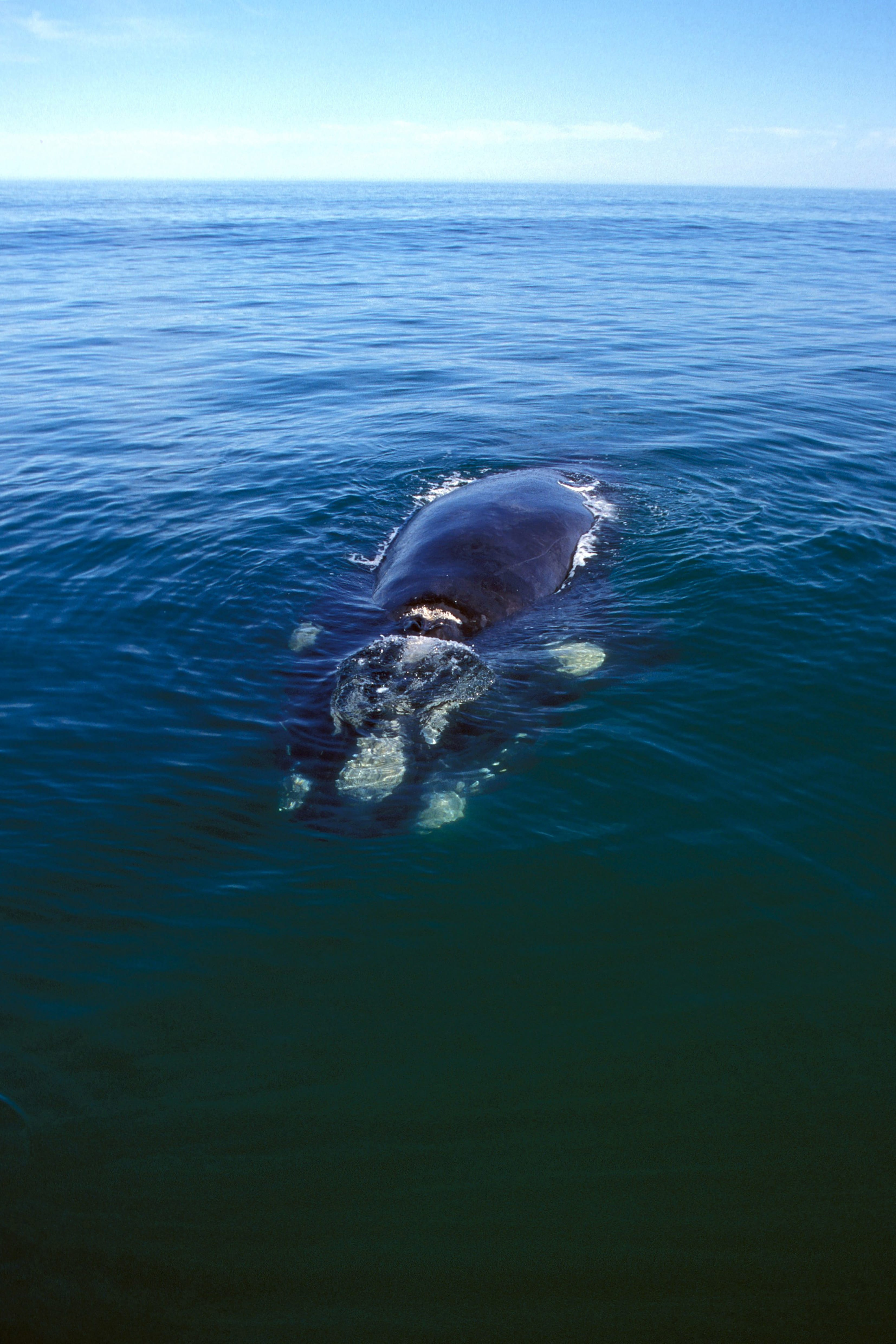 Southern Right Whale on the water surface (00011218)