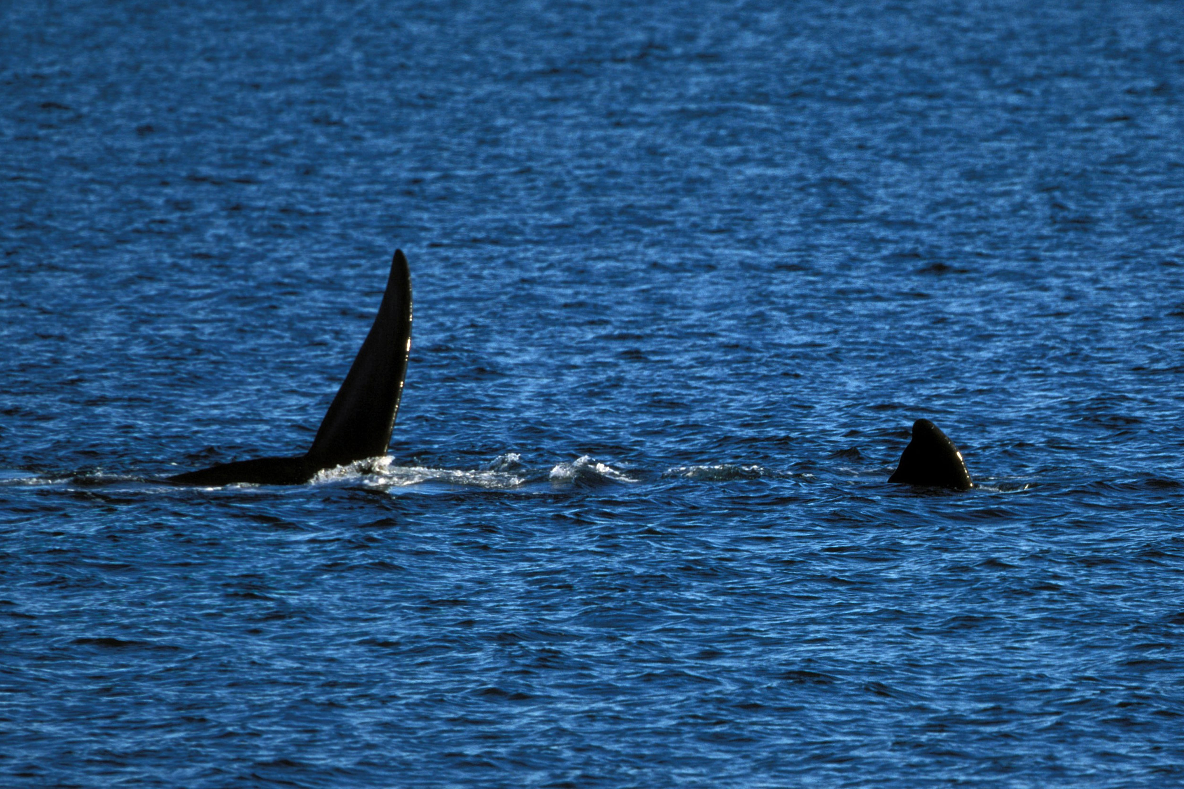 Fins of Southern Right Whale on the water surface (00011219)