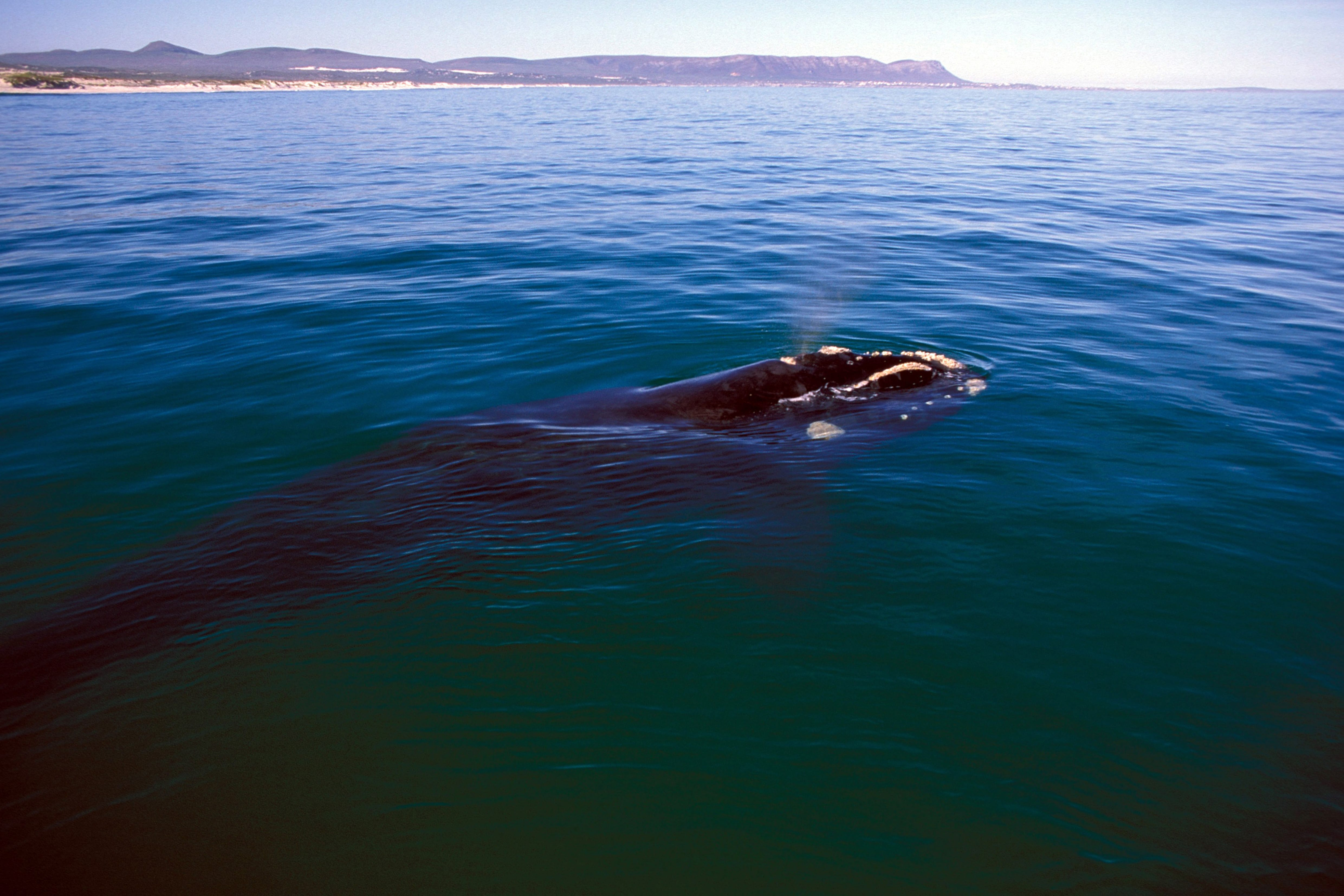 Southern Right Whale on the water surface (00011261)