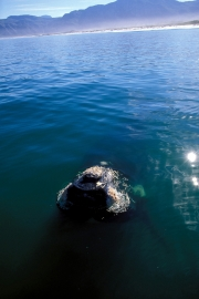 Southern Right Whale  breaks through the watersurface