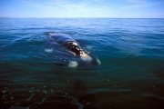 Southern Right Whale on the water surface