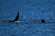 Fins of Southern Right Whale on the water surface