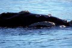Southern Right Whale (00011122)