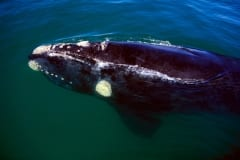 Southern Right Whale swims at the water surface (00011152)
