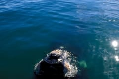 Southern Right Whale  breaks through the watersurface (00011161)
