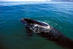 Southern Right Whale  breaks through the watersurface (00011189)
