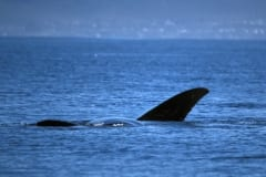 Fin of Southern Right Whale on the water surface (00011255)