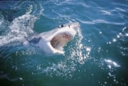 Great White Shark breaks through the water surface