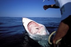 Wide open mouth of the Great White Shark