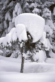 Snowy small fir (00007637)