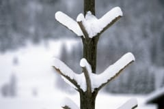 Snowy small tree (00007621)